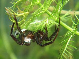 image of Argyroneta Aquatica Weibchen2