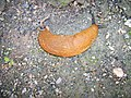 Arion lusitanicus Spanish slug-1.jpg