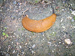 Arion lusitanicus Spanish slug-1.jpg