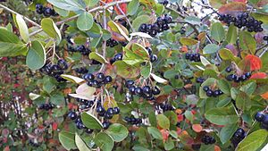 Aronia - Purple chokeberry (Aronia prunifolia)