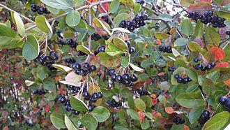 Aronia - Purple chokeberry (Aronia prunifolia)