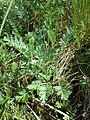 Artemisia pancicii sl17.jpg