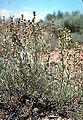 Artemisia papposa.jpg