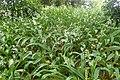 Arthropodium cirrhatum kz4.jpg