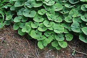 Des vertus des plantes par Macer Floridus, 1832 290px-Asarum_canadense_03