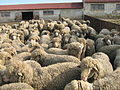 Ascanian sheep 4.jpg