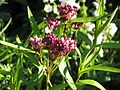 Asclepias incarnata - Flickr - peganum (2).jpg
