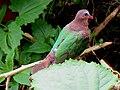 Asian Emerald Dove IMG 6496.jpg