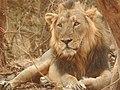Asiatic Lion 001.jpg