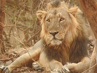 Absheron National Park - A male Asiatic lion.