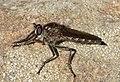Asilidae. Robberfly (32766431650).jpg