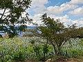 Asparagales - Agave tequilana - 8.jpg