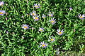 Aster alpigenus - Paradise, Mount Rainier, August 2014 - 01.jpg