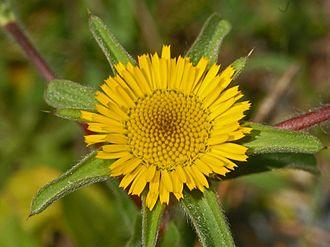 Pallenis spinosa - Flower of Pallenis spinosa