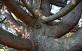 Atlas Cedar Cedrus atlantic Trunk 3008px.jpg