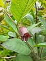 Atropa belladona.jpg