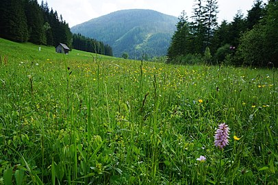 Auenmoos, Hochmoor, Gemeinde Metnitz, Kärnten.jpg