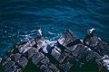 Australian Pied Cormorants (Phalacrocorax varius) (9994096773).jpg
