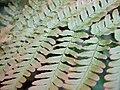 Autumn Brilliance Fern close-up.jpg