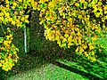 Autumn gold yellow leaves (10360013575).jpg