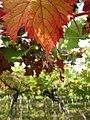 Autumn vineyard 2 (3989922628).jpg