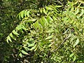 Azadirachta indica - Neem at Tenkasi 2014 (1).jpg