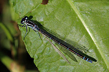 Azure damselfly (Coenagrion puella) female blue phase.jpg