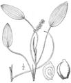BB-0175 Potamogeton oakesianus.png