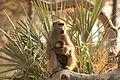 Baboon and baby Okavango delta.jpg