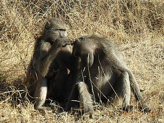 Chacma baboon - Grooming strengthens bonds between individuals in groups