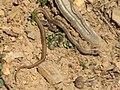 Baby Snake (5456337446).jpg