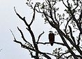 Bald Eagle at Burnidge FP Elgin (8739853935).jpg
