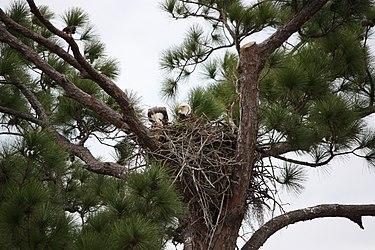 Bald eagle pair in nest 2.jpg