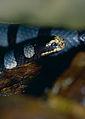 Banded Sea Krait (Laticauda colubrina) (14454607099).jpg
