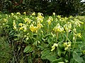 Bank of cowslips - geograph.org.uk - 766235.jpg