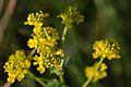 Barbarea vulgaris (7181165664).jpg