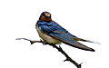 Barn Swallow (Hirundo rustica) (16275769779).jpg
