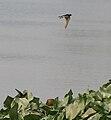 Barn Swallow (Hirundo rustica) in Kolkata W IMG 3414.jpg