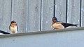 Barn Swallows (Hirundo rustica) - Norfolk County, Ontario 2019-06-09 (02).jpg