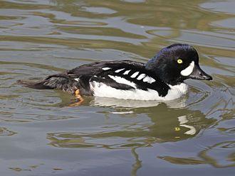 Goldeneye (duck) - Image: Barrow's Goldeneye RWD3
