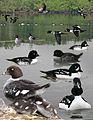 Barrows Goldeneye From The Crossley ID Guide Eastern Birds.jpg