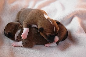 Puppy wikipedia newborn basenji puppies voltagebd Image collections
