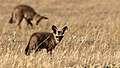 Bat-eared fox, Otocyon megalotis, at Kgalagadi Transfrontier Park, Northern Cape, South Africa (35036976425).jpg