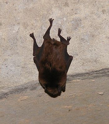 A bat that I stumbled upon in a certain drain....