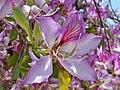 Bauhinia variegata, Parque de la Alegría, Málaga (02).jpg
