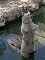 Syrian Brown Bear in Jerusalem Biblical Zoo. It is suggested that this is the species of bear mentioned in the story.
