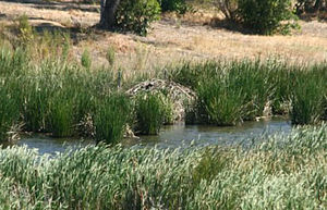 Benicia State Recreation Area - Beaver lodge on Southampton Creek