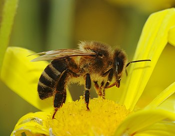 Apis mellifera (European honeybee)