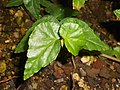 Begonia cubensis 2017-05-31 2335.jpg