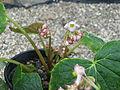 Begonia labordei (20982522920).jpg
